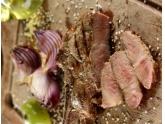 Churrasco de Short Rib ou Prime Rib Duroc Red Pork