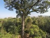 Botânico registra árvores gigantes da Mata Atlântica