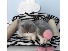 Vendo Filhotes de gato Persa com pedigree ( estimação)