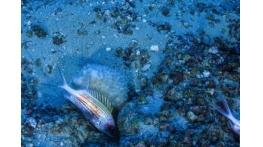 Expedição aos Corais da Amazônia surpreende pesquisadores