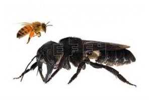 Exemplar de maior abelha do mundo é visto pela 1ª vez em 38 anos