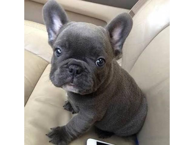 355261 cachorros de bulldog franc s gr tis para ado o - Bulldog frances gratis madrid ...